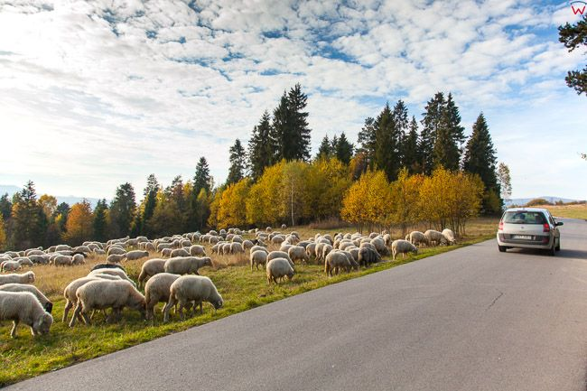 Czorsztyn, wypas owiec. Eu, Pl, Malopolska.