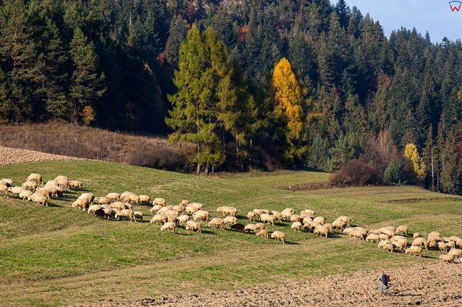 Sromowce Wyzne, wypas owiec. EU, Pl, Malopolska.