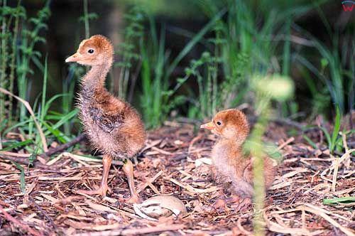 Młody żuraw