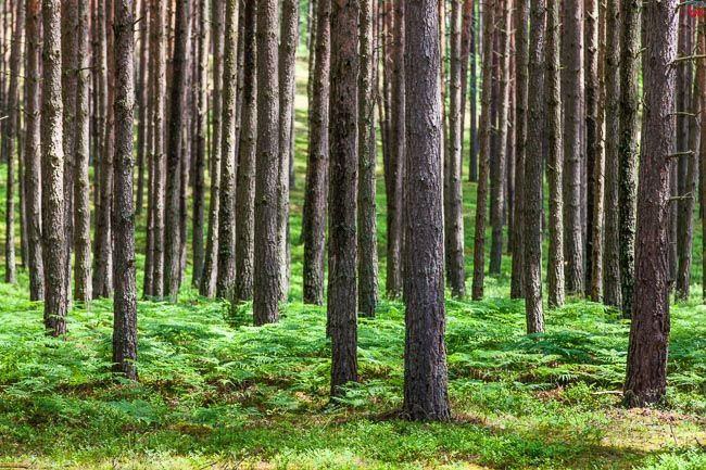 Las swierkowy. EU, Pl, Warm-Maz