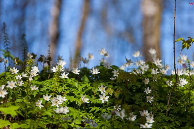 Wiosna, zawilce w lesie 23.04.2017 r.. Fot. Wojciech Wojcik