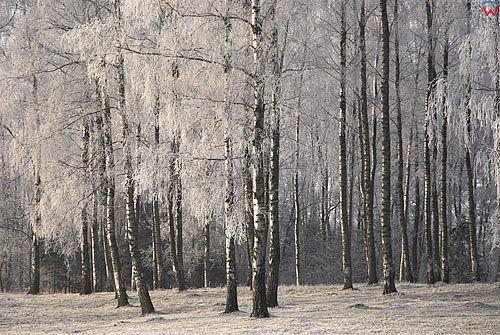 Warm-Maz. Las brzozowy zima.