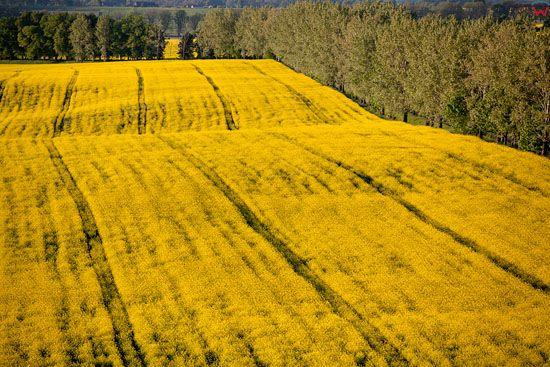 Rzepak (Brassica napus). EU, Pl, warm-maz, LOTNICZE.