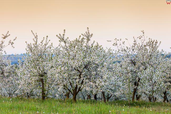 Kwitnace drzewa owocowe w okolicy Kazimierza Dolnego. EU, PL, Lubelskie.