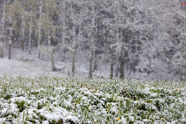 Jeziorany, 10.05.2017. Zalamanie pogody z intensywnym opadem sniegu.