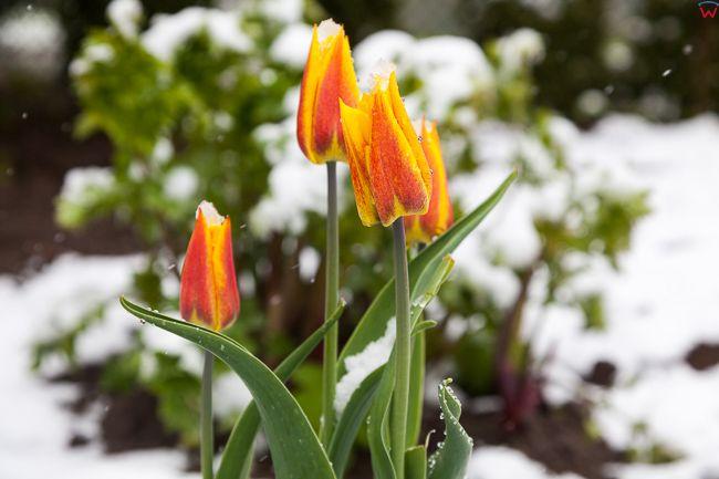 Wiosna, 10.05.2017, nagly nawrot zimy na Warmii. EU, Pl, warm-maz
