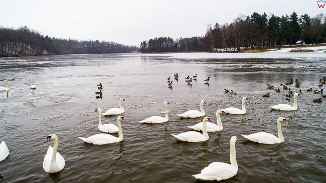 Jezioro Pierzchalskie, ptactwo zimowa pora. EU, Pl, warm-maz. Lotnicze.