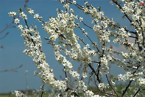 Sliwa tarnina (prunus spinosa)