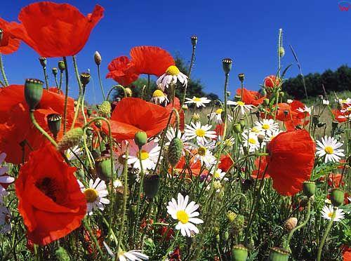 Kwiaty, maki