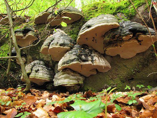 Hubiak pospolity; Fomes fomentarius; gatunek; grzyby nadrzewne; podstawczaki.