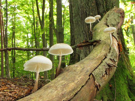 Monetka kleista; Oudemansiella mucida;  gatunek; grzyby nadrzewne; podstawczaki.