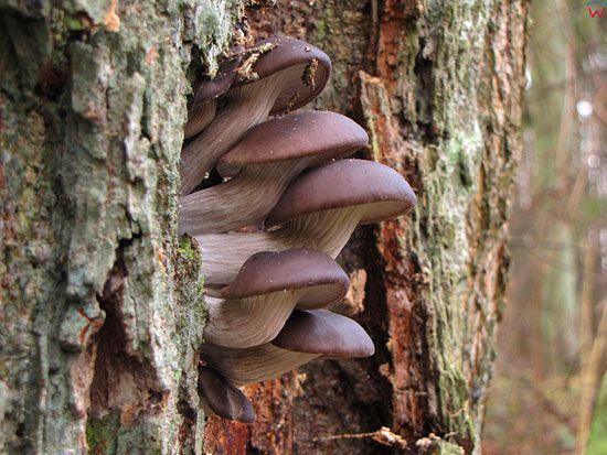 Boczniak ostrygowaty; Pleurotus ostreatus; gatunek; grzyby nadrzewne; podstawczaki.