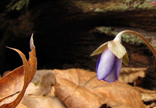 Przylaszczka pospolita; Hepatica nobilis.