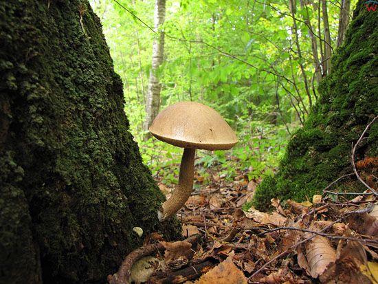 Kozlarz babka; Leccinum scabrum; gatunek; grzyb; podstawczaki.