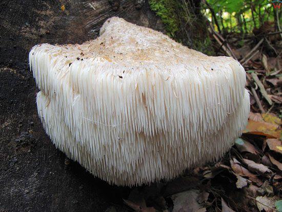 Soplowka jezowata; Hericium erinaceum; gatunek; grzyb; podstawczaki; chronione.