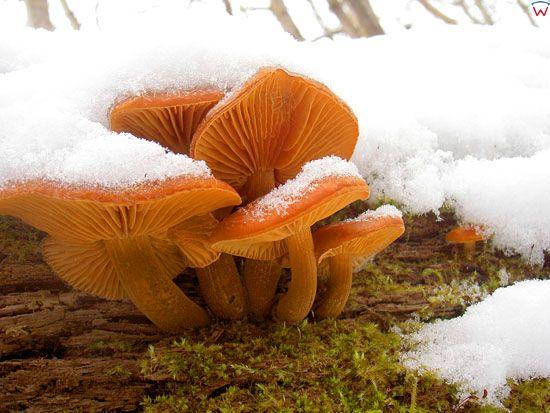 Plomienica zimowa; Flammulina velutipes; zimowka aksamitnotrzonowa; gatunek; grzyb nadrzewny; podstawczaki.