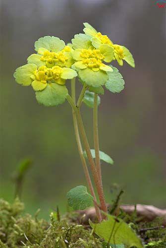 WW060170 śledziennica skrętolistna chrysosplenium alternifolium fot. Wojciech Wojcik