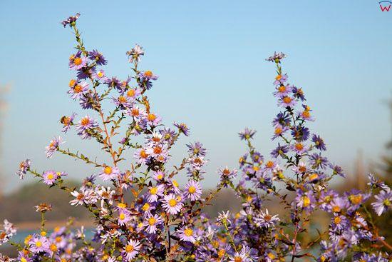 EU, Pl, warm - maz. Jesien - kwiaty.