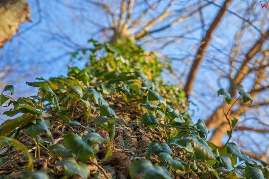 Bluszcz pospolity (Hedera helix L.) wiecznie zielone pnacze. EU, Pl, Warm-Maz.