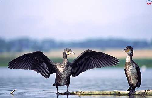 Kormoran suszący skrzydła