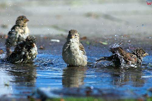 Kąpiel wodna wróbli