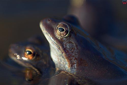 Żaba błotna