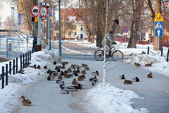 Kaczki krzyzowki zimowa pora.