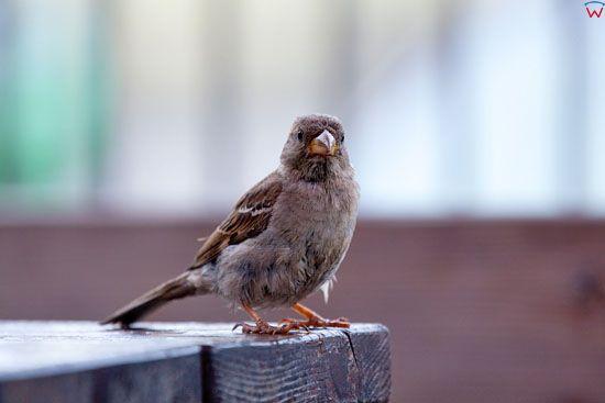 Wrobel (Passer domesticus).