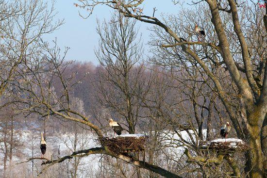 Bocian biały (Ciconia ciconia). Zywkowo - bociania wies. EU, Pl, warm - maz.