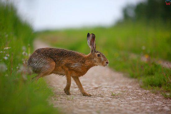Zajac Szarak.