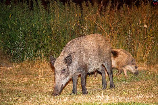 Swinoujscie, dziki zerujace przy przeprawie promowej Karsibor. EU, Pl, Zachodniopomorskie.