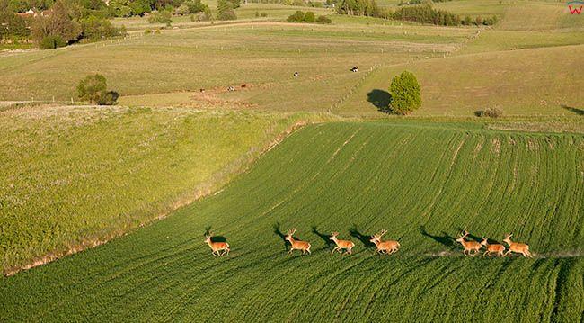 Olszewki, stado jeleni EU, Pl, Warm-Maz. Lotnicze.