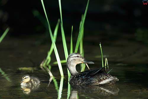 kaczka krzżówka z piskalakiem