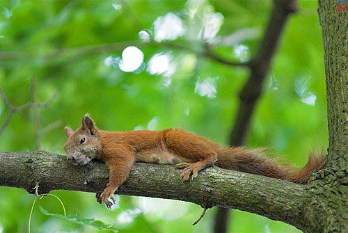 Odpoczywająca wiewiórka pospolita (Sciurus vulgaris)