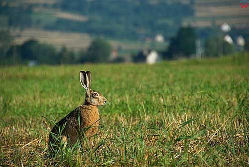 Zajac.