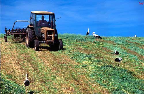 Żerujące bociany przy koszonej trawie