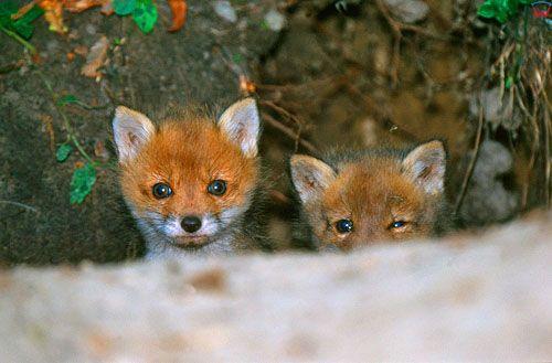Znalezione obrazy dla zapytania młode lisy