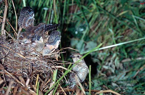Gniazdo gąsiorka