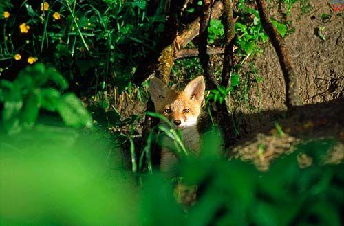 Młody lis przed swoją norą.