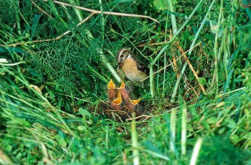 Pokląskawka przed gniazdem z młodymi.