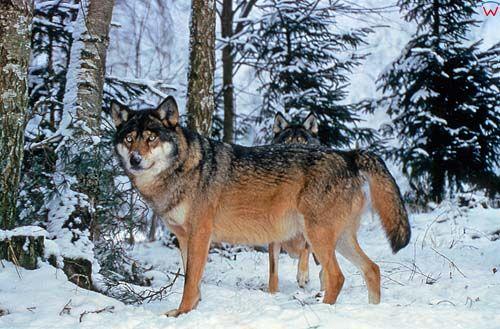 Wilki w lesie.