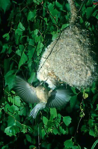 Remiz wlatujący do swojego gniazda.