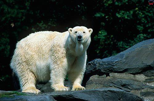 Niedzwiedz polarny
