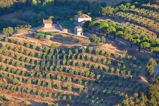Gaj oliwny w okolicy Viciomaggio. EU, Italia, Toskania. LOTNICZE.